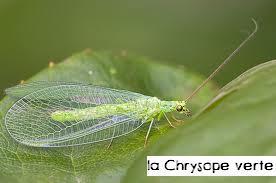 Oratoirenature archives du blog coccinelles et autres mangeurs de pucerons attention - Insecte vert volant ...